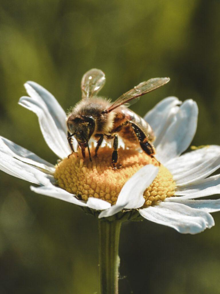 de werkster haalt nectar uit de bloem