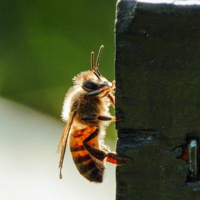 bijenportret; bij; bijen; honingbij; bijenkast; zomer