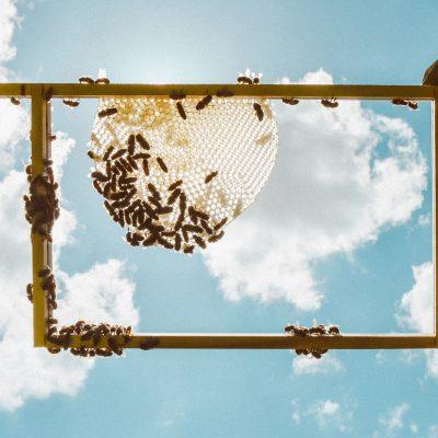 raat; honingraat; raam; natuurbouw; bij; bijen; honingbij; bijenvolk; gereedschap; raampjeslichter; zon; zomer